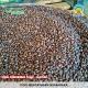 hasil-perkebunan-tlogo-biji-kopi-robusta-kopi-menyatukan-nusantara